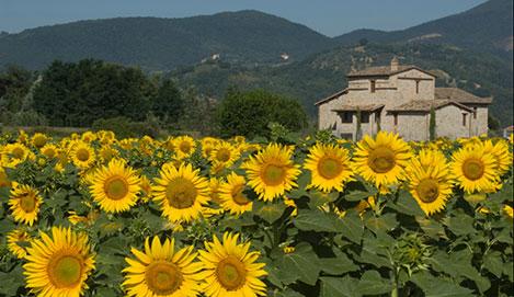 Umbria Sunflowers2.jpg