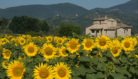 Umbria_sunflowers2.jpg